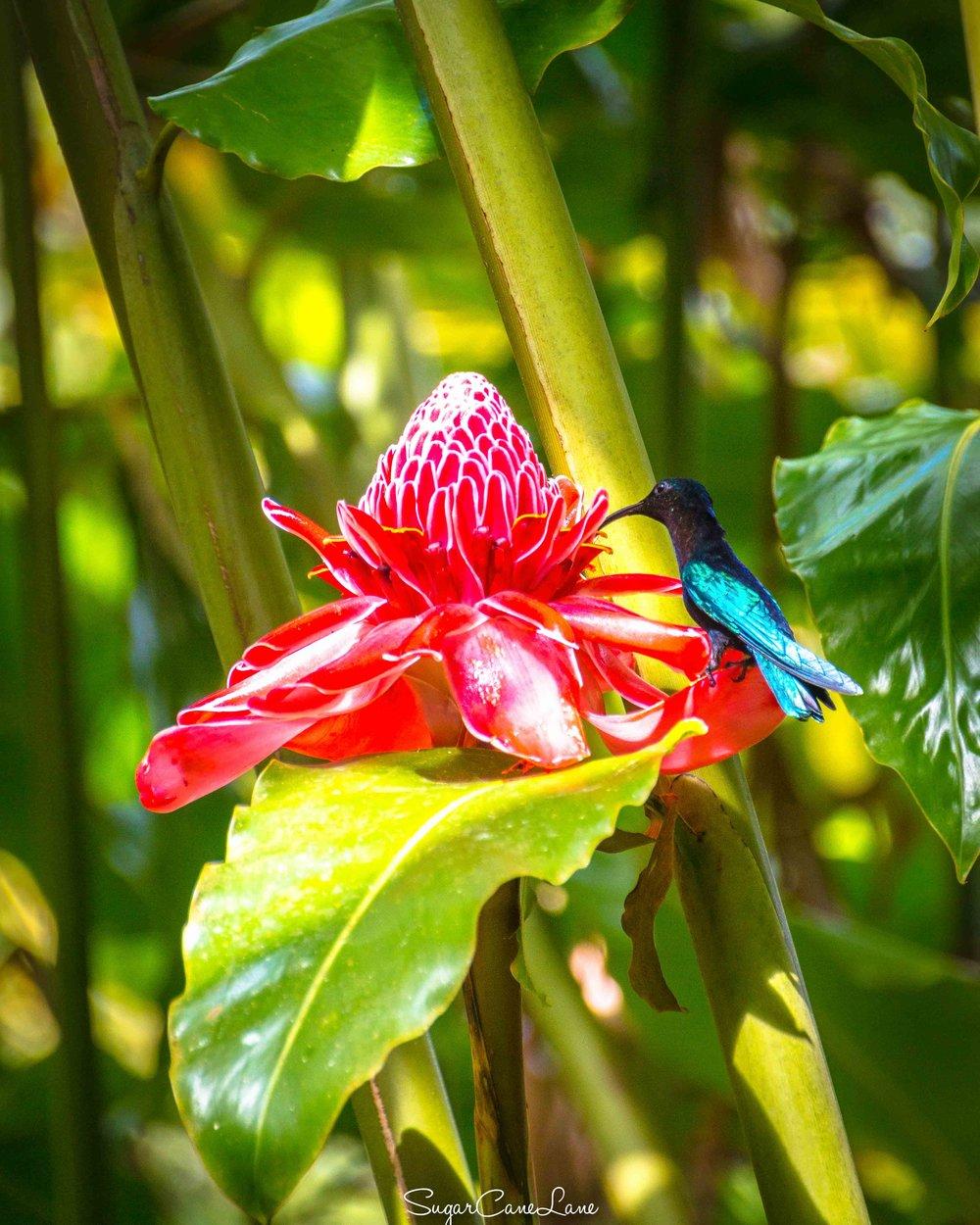 Un colibri se délecte d'une rose de porcelaine.