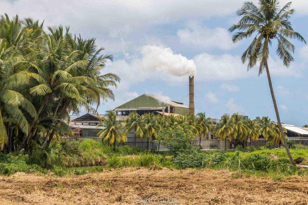 martinique, distillerie saint-james : champ de canne à sucre et cocotier