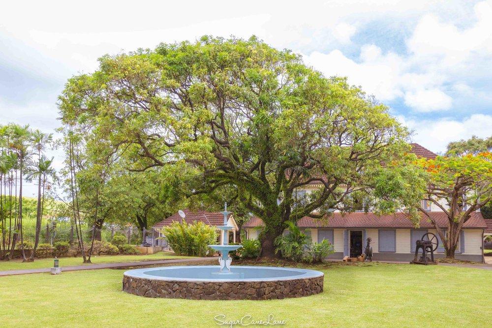 martinique_saint-james_mango-tree_1604.jpg
