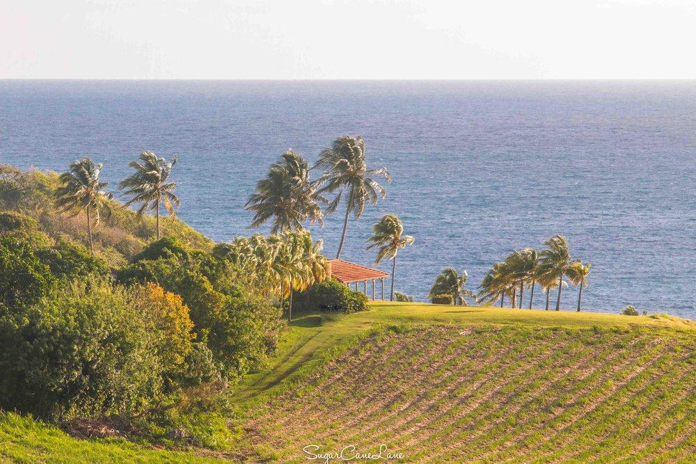 martinique, champs de canne, cocotier et mer bleue