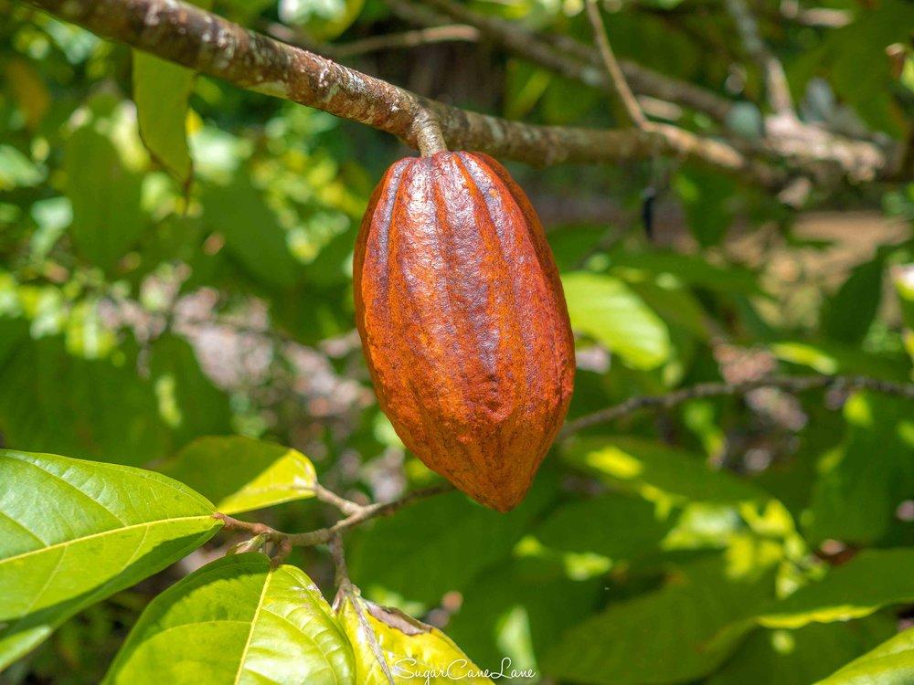 martinique_cocoa_5110757.jpg