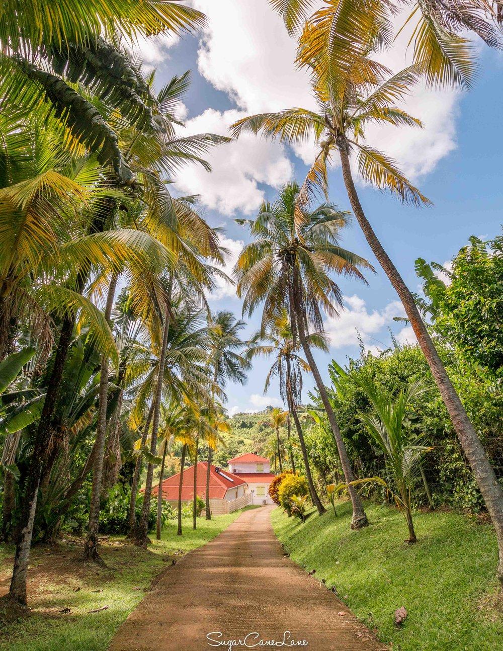 Domaine Saint-Aubin, Martinique : allée de cocotiers