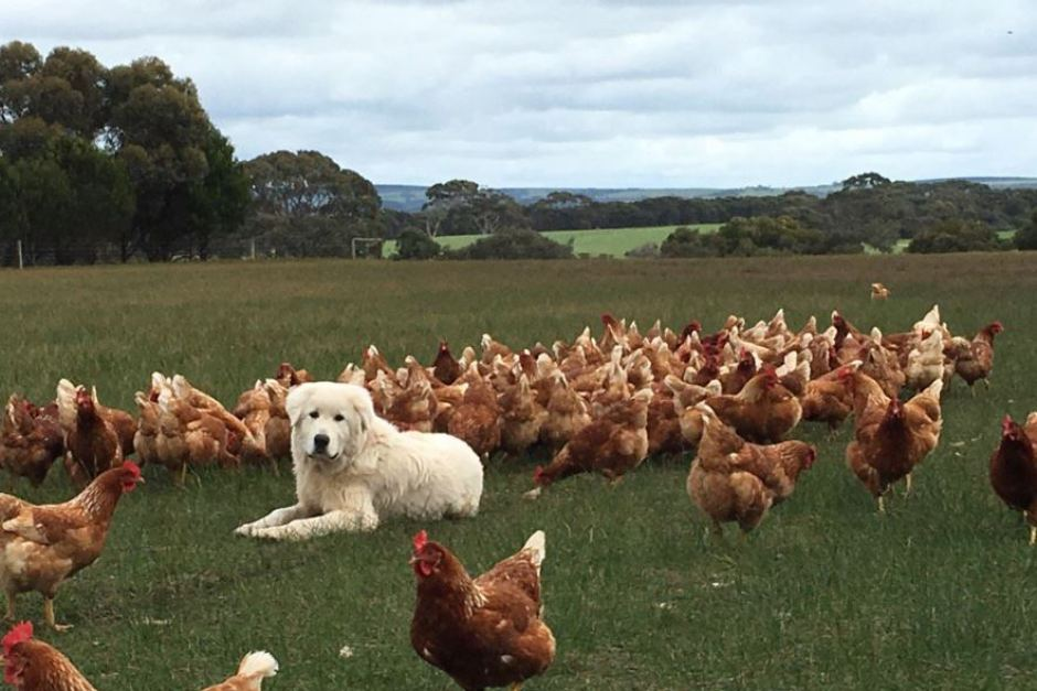 Adorably, pasture raised hens are often guarded by Maremma dogs during the day. These Italian sheepdogs are very protective of their avian charges, and some even choose to sleep in amongst the chickens at night. Photo via ABC Landline, Prue Adams