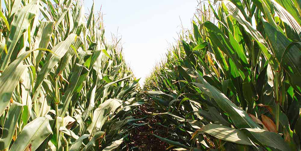 Originally extracted from birch trees, Xylitol is now more commonly derived from corn crops