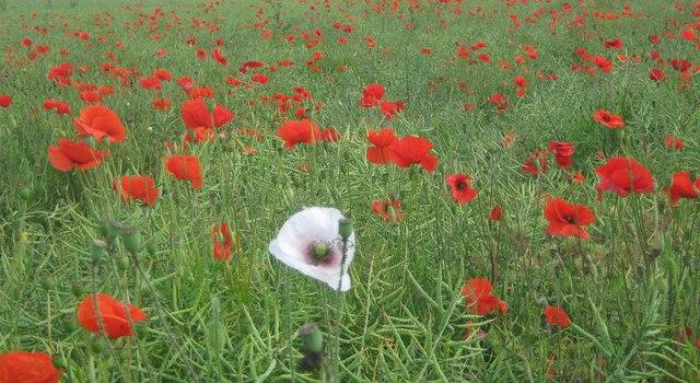 White Poppies Alaricstephen