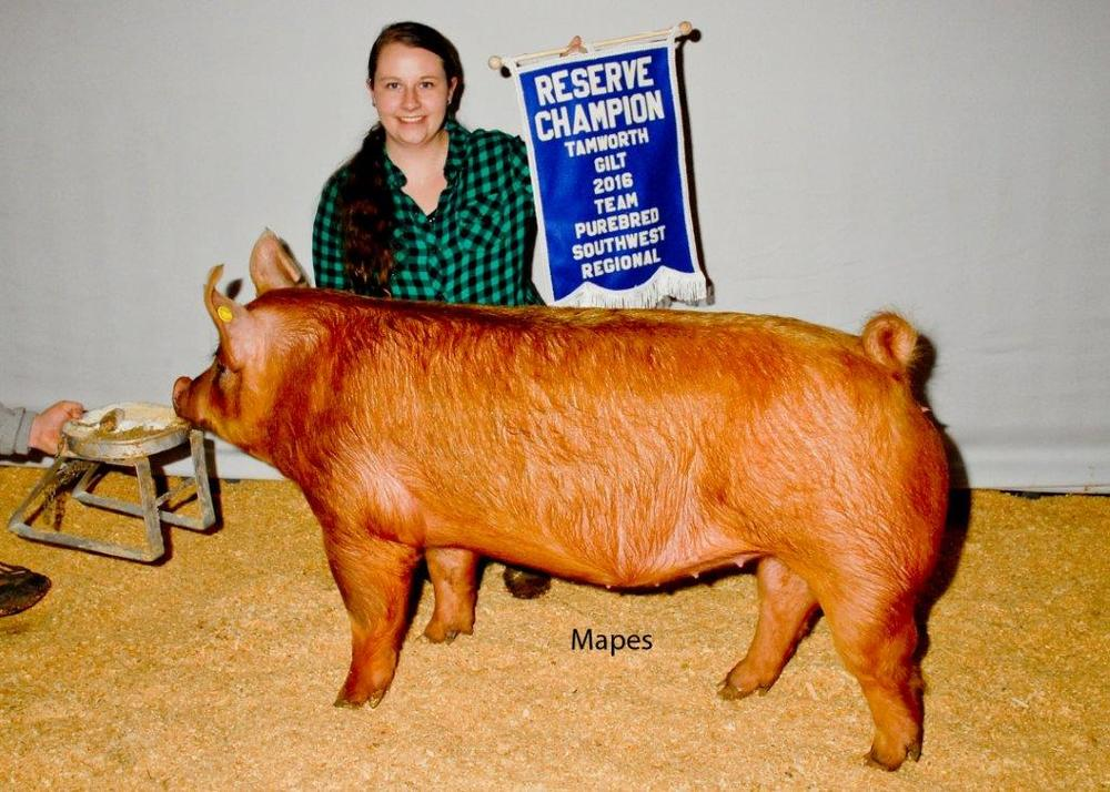 Reserve Champion Tamworth Gilt