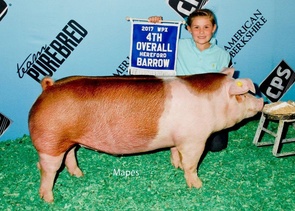 4th Overall Hereford Barrow WPX Shown By Hannah Shanafelt, IN.jpg