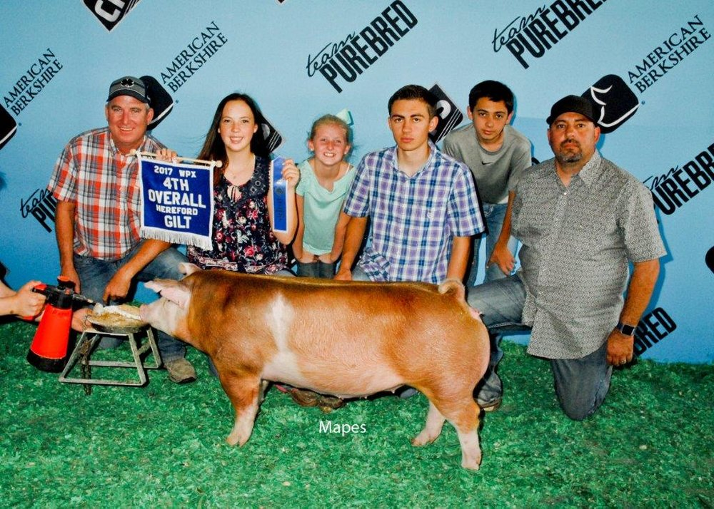 4th Overall Hereford Gilt WPX 2017.jpg
