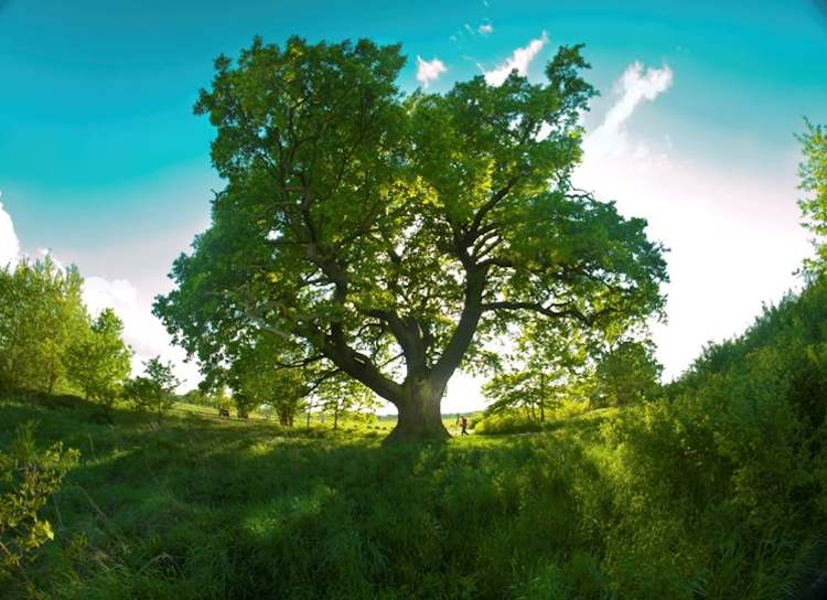 750px-Oak-tree-Poland-EuropeanTreeoftheYearPhoto.jpg