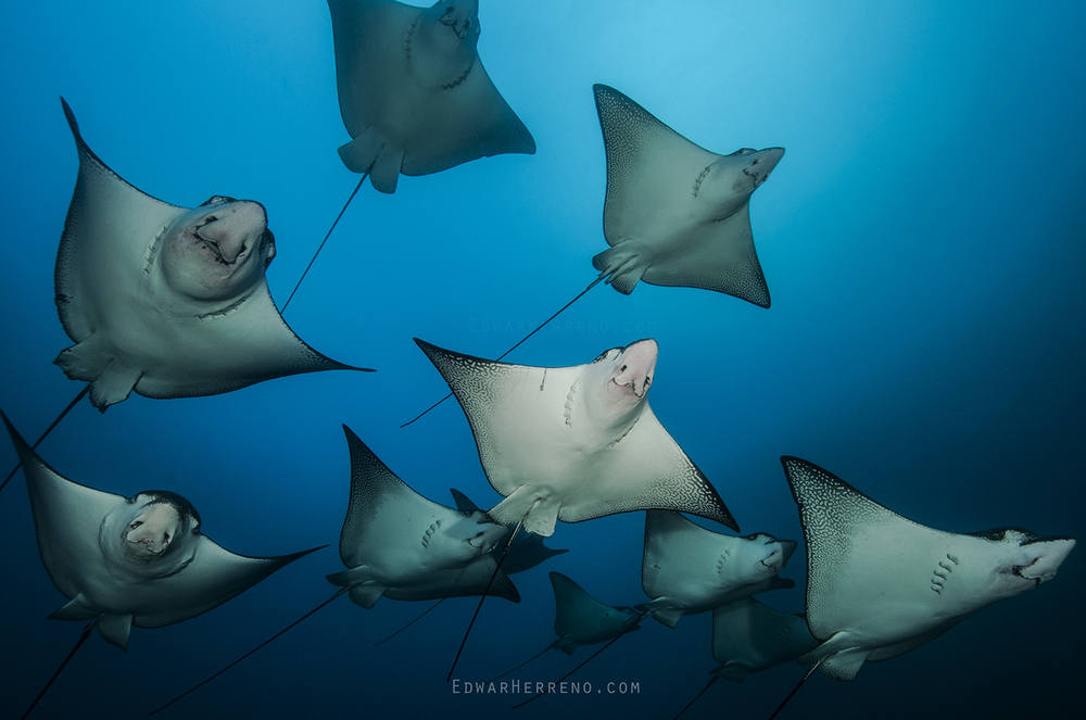 Eagle Rays - Cocos Island