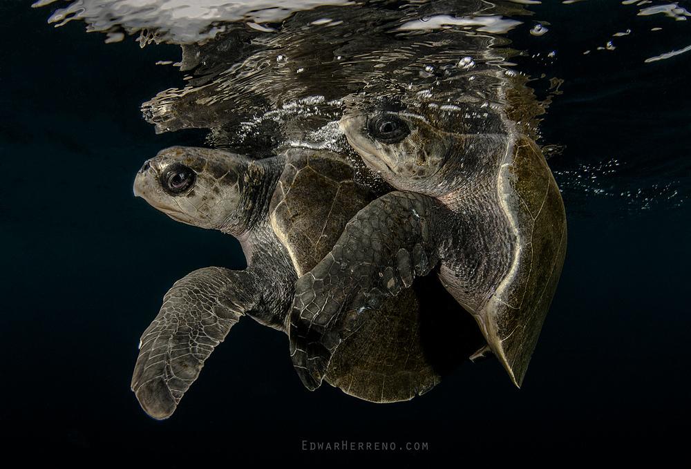Olive Ridley Turtle - Bat Island