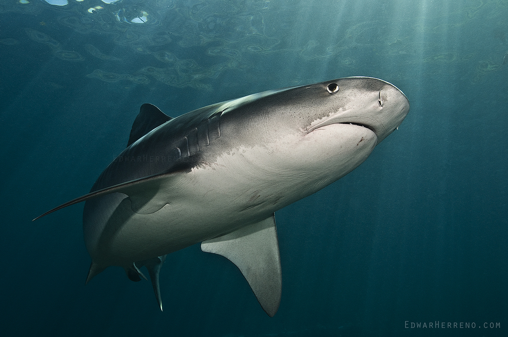 Tiger Shark - Cocos Island