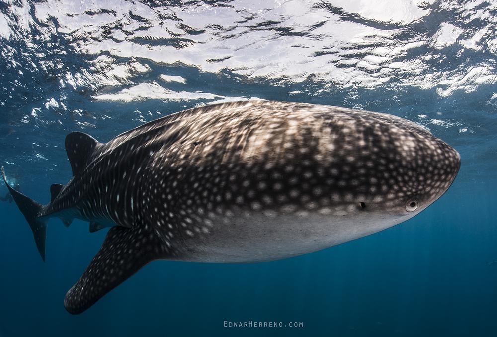 Whale Shark - Bat Island