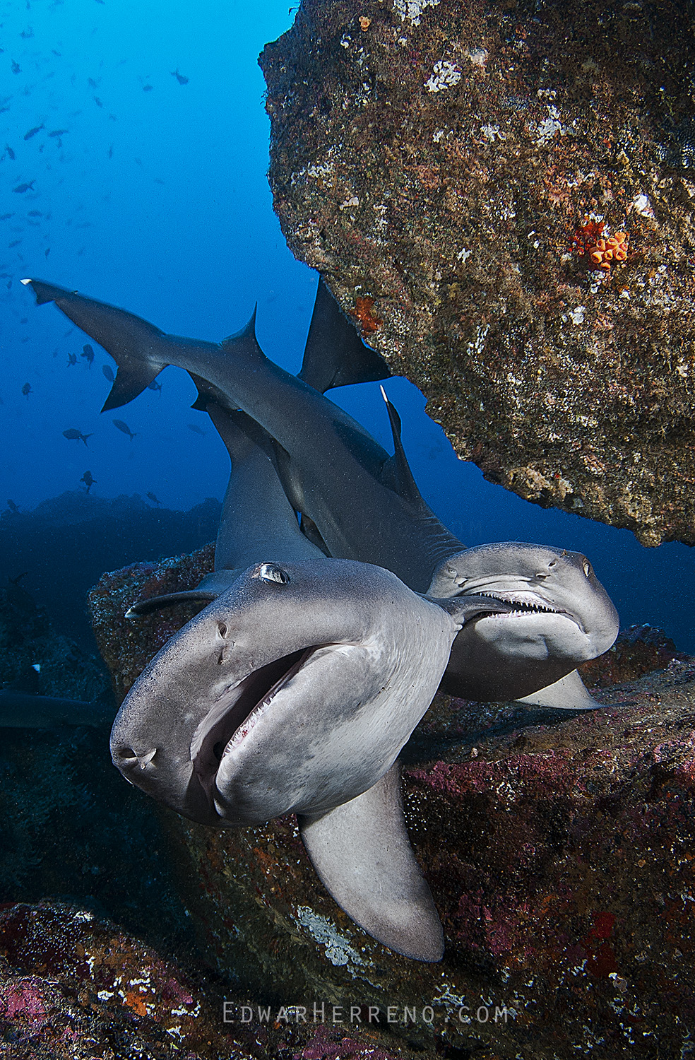 Whitetip Reef Sharks Mating - Dirty Rock