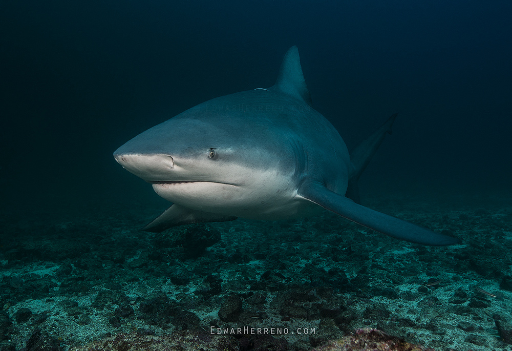 Bull Shark - Big Scare/BatIsland