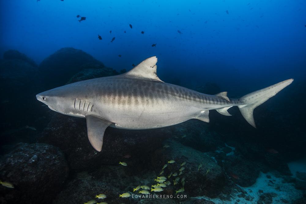 Pregnant Tiger Shark - Cocos Island