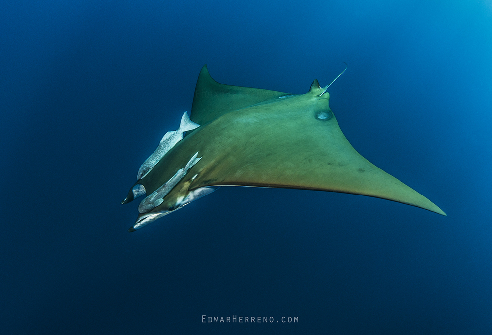 Devil Ray - Cocos Island