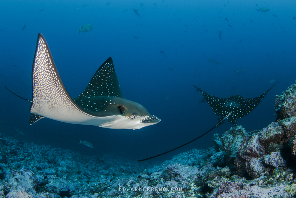 Spotted Eagle Ray - Dos Amigos
