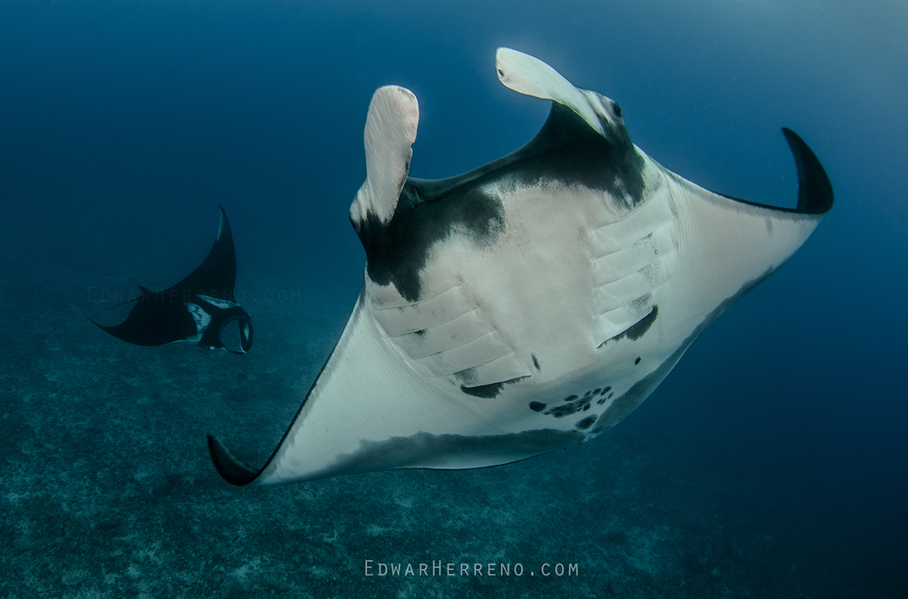 Giant Pacific Manta Ray - Bat Island