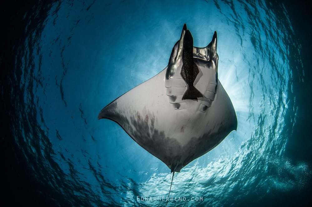 Mobula Ray - Dirty Rock