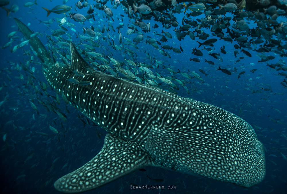 Whale Shark in a Bait Ball - Cocos Island