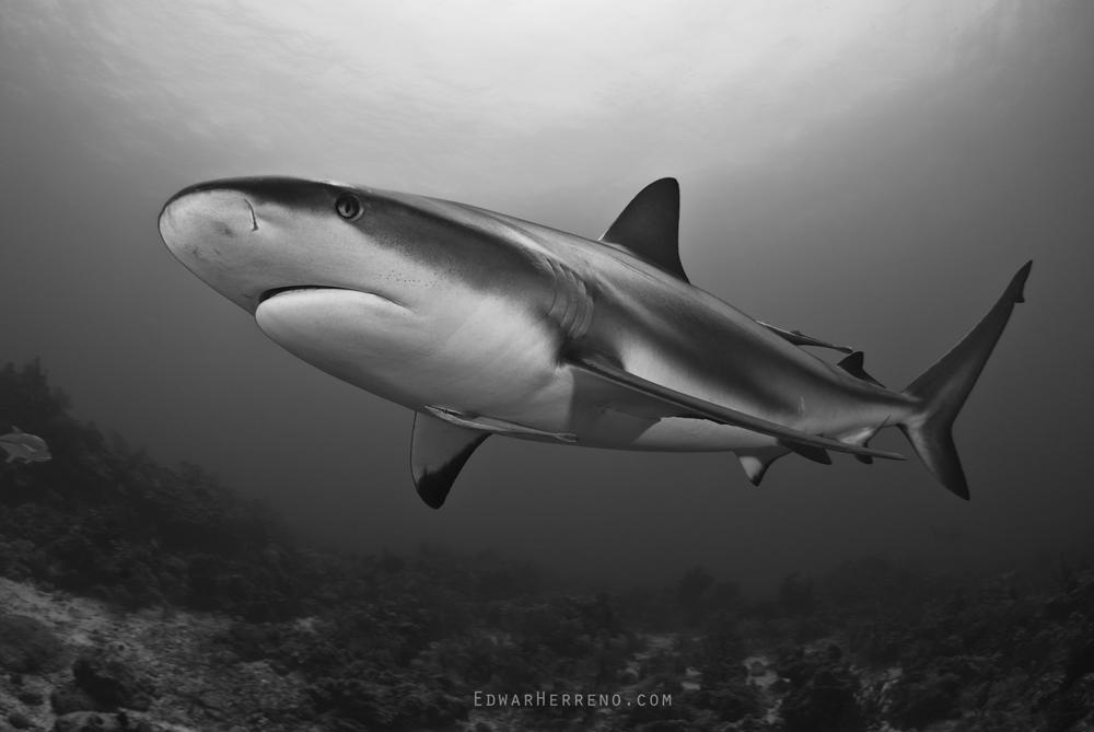 Caribbean Reef Shark - Roatan