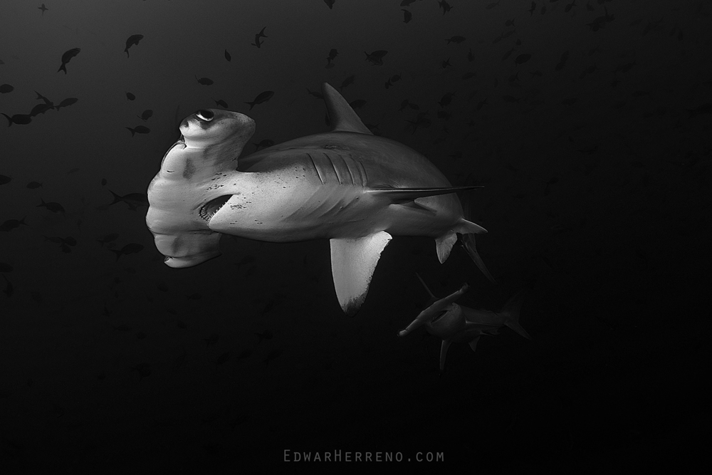 Scalloped Hammerhead Shark - Cocos Island