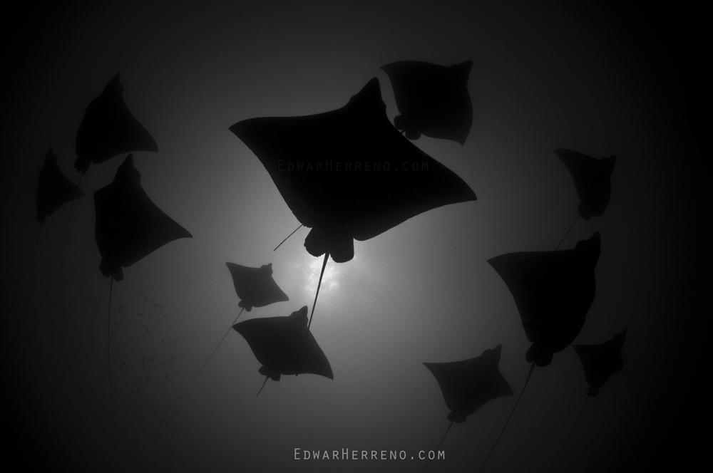 Eagle Rays - Papagayo Gulf