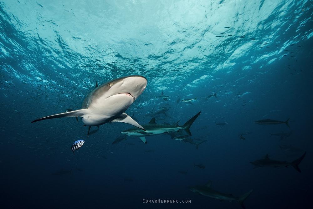 Silky Shark - Bait Ball