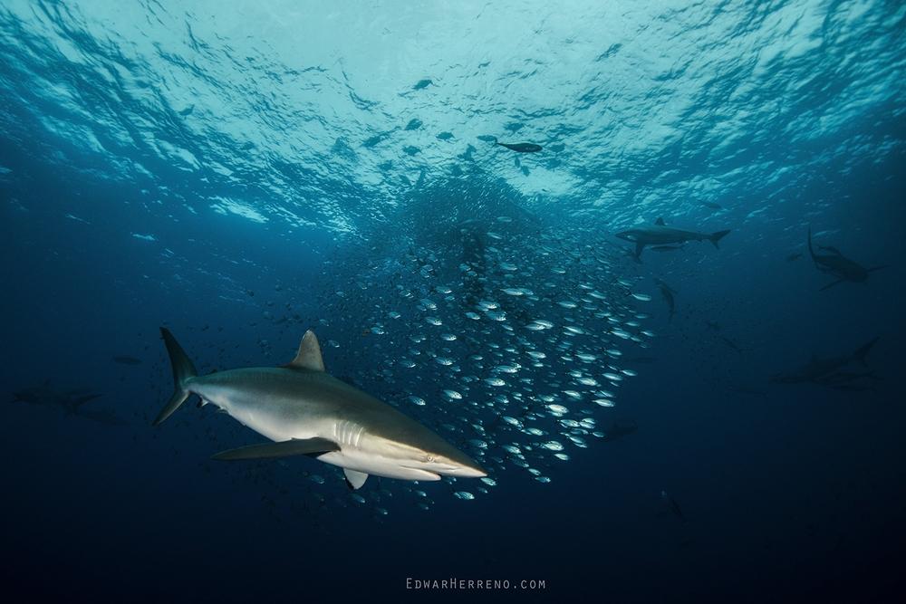 Galapago Shark - Bait Ball