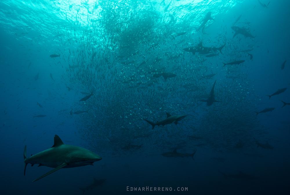Silky, Black Tip & Galapago Sharks, Yellow Fin Tuna and Boobys Feeding on a Ball of Fish