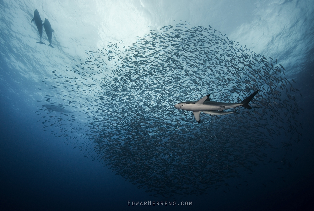 Bottlenose Dolphin & Silky Shark - Bait Ball
