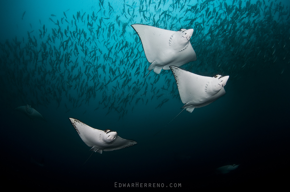Eagle Rays - Black Rock