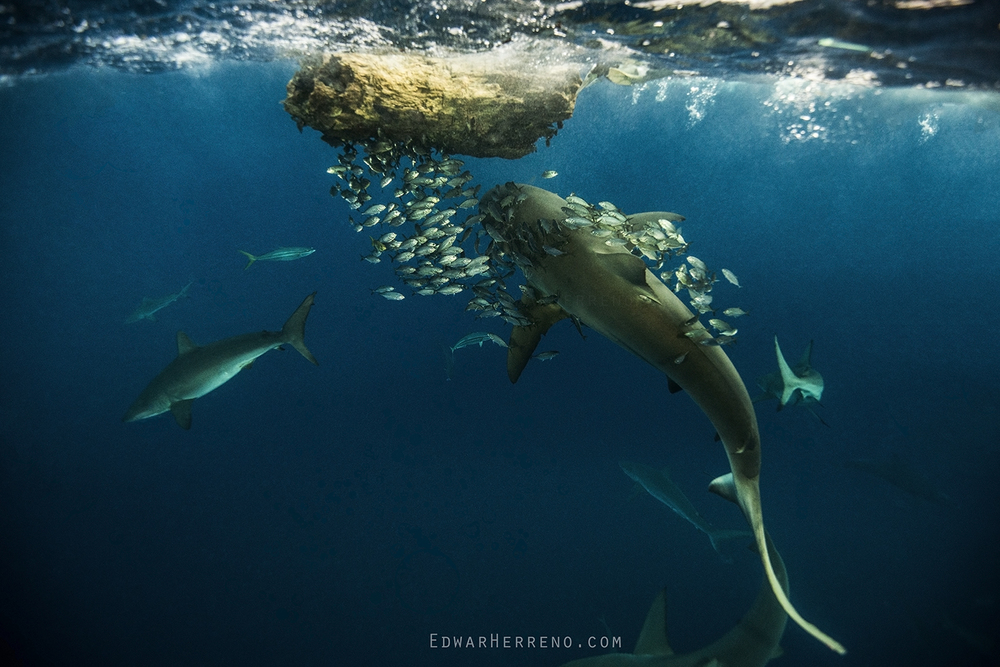 Galapago Shark Feeding on a Bait Ball