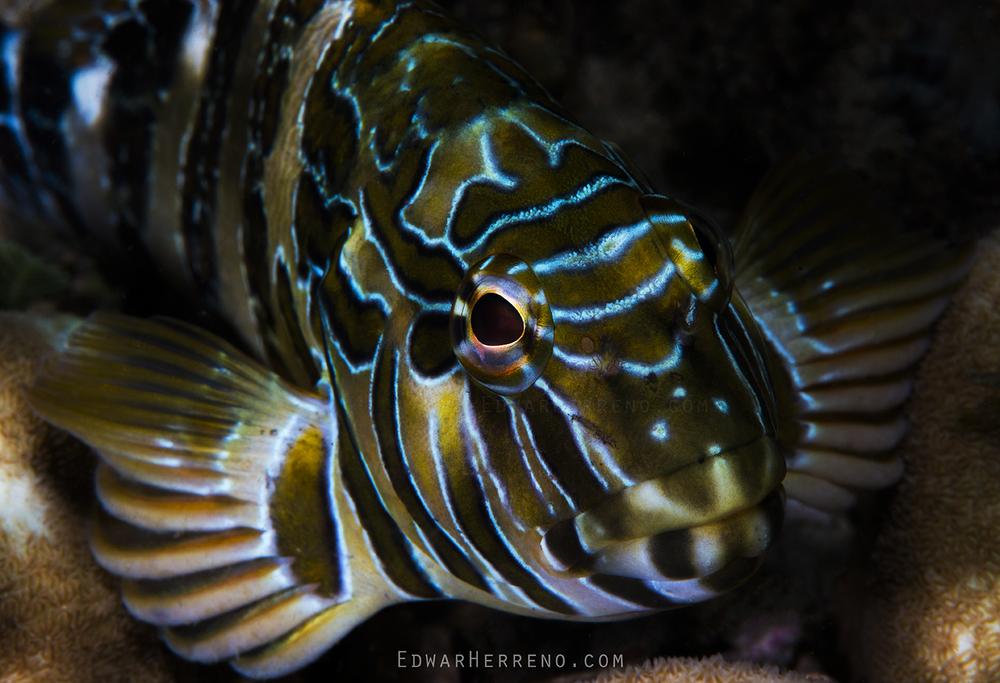 Juvenile Giant Hawkfish - Papagayo Gulf