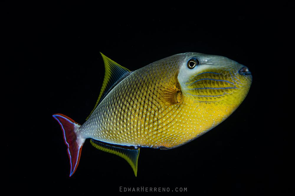 Crosshatch Triggerfish - Dirty Rock
