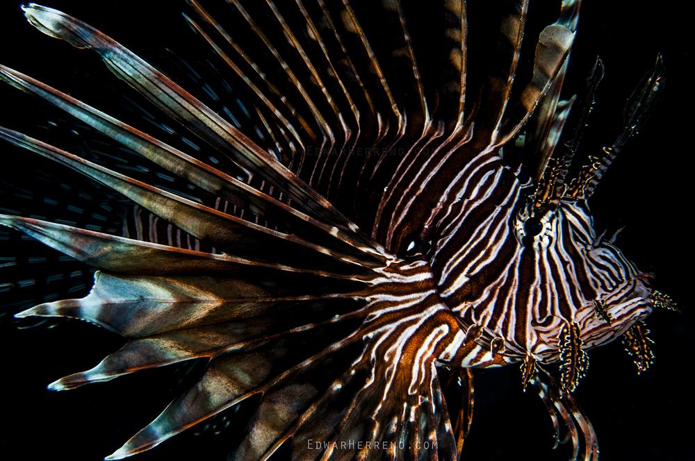 Lion Fish - Utila