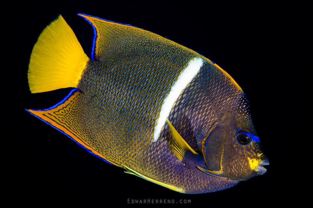 King Angelfish - Dirty Rock