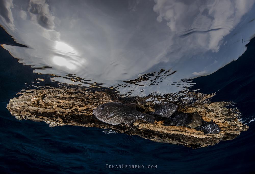 Pelagic Triggerfish Hiding Under a Log - Eastern Pacific
