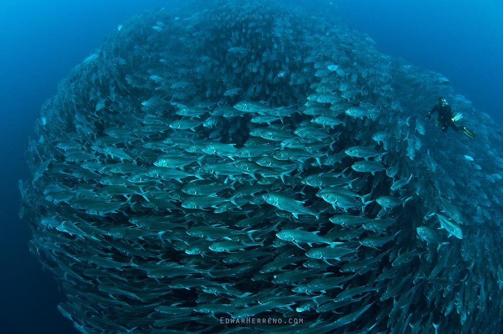 Bigeye Jack - Cocos Island