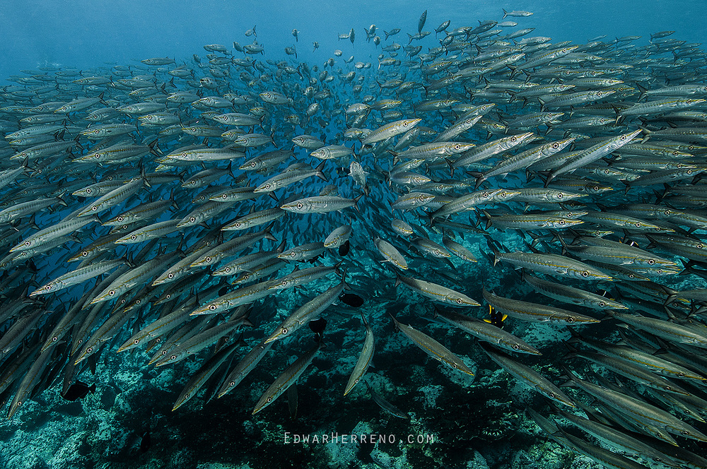 Pacific Barracudas - Malpelo
