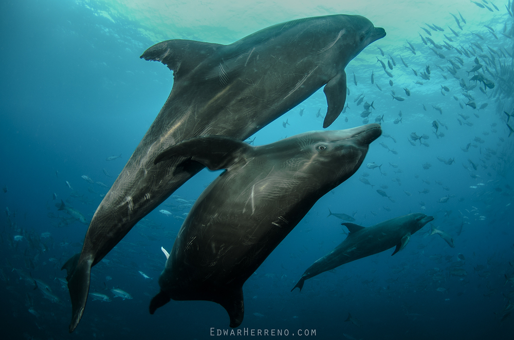 Bottlenose Dolphins Mating - Dirty Rock