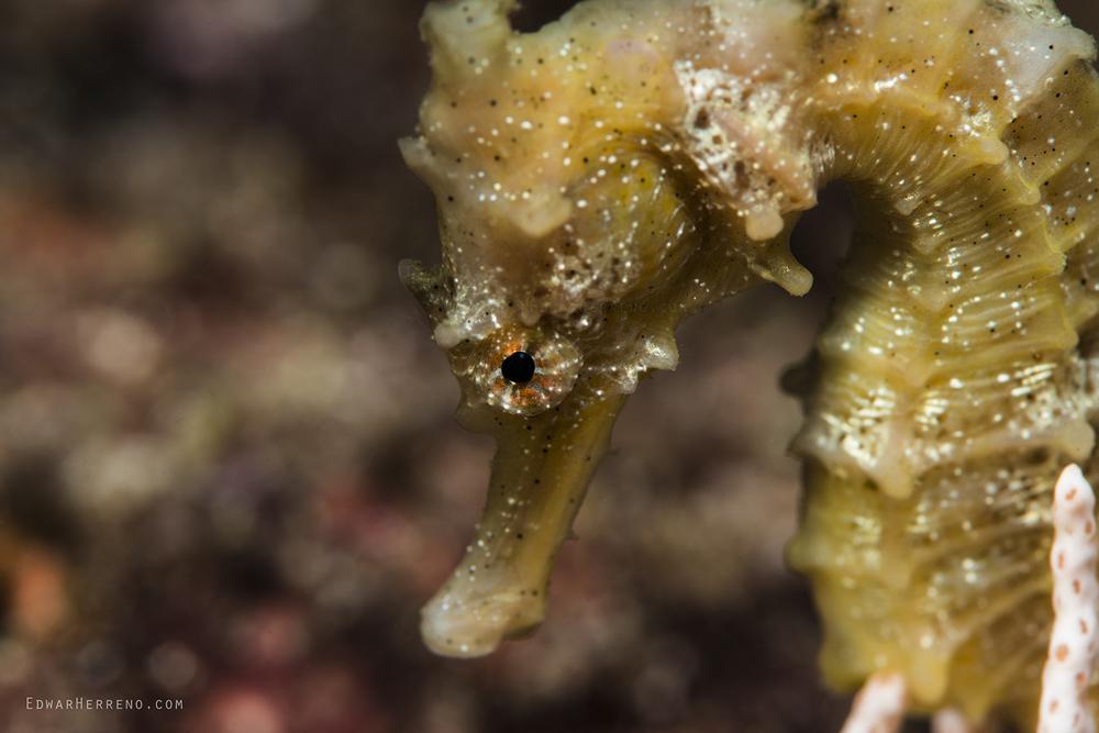 Pacific Seahorse - Papagayo Gulf