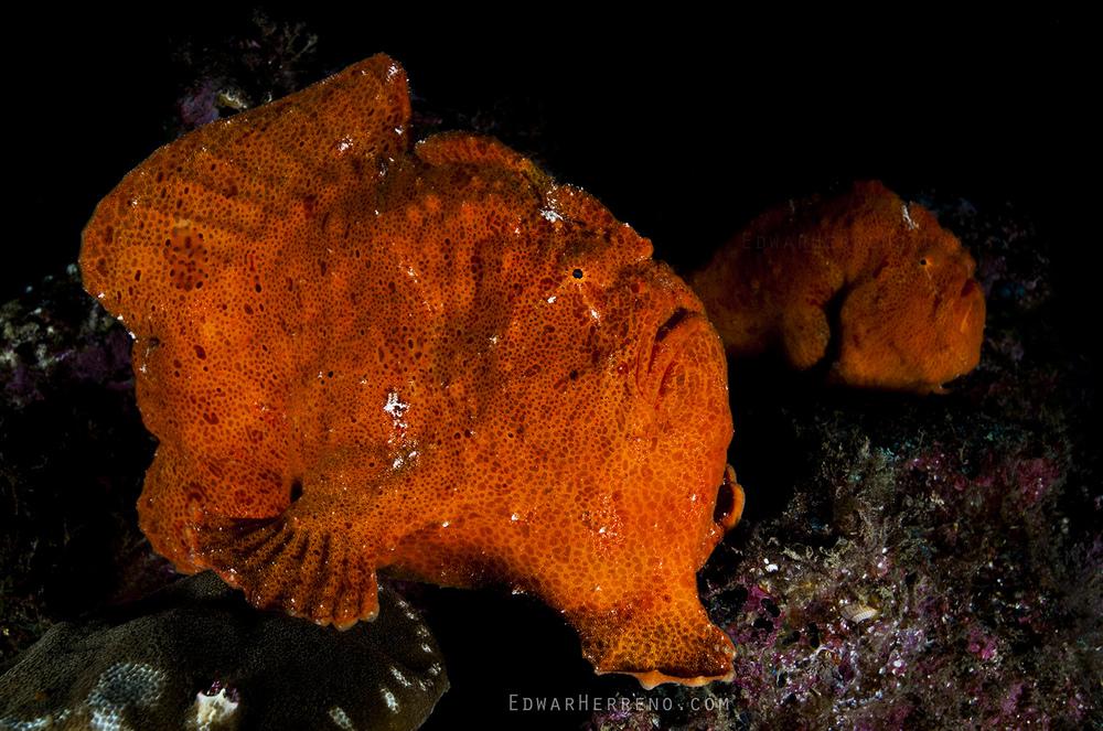 Frogfish Couple - Manuelita
