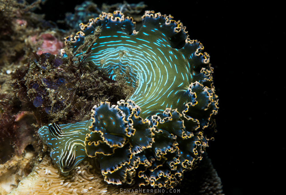 Nudibranch SP - Playa Ocotal