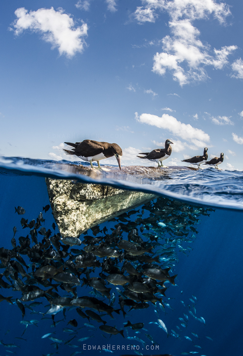 Brown Booby & Pelagic Fish - Eastern Pacific
