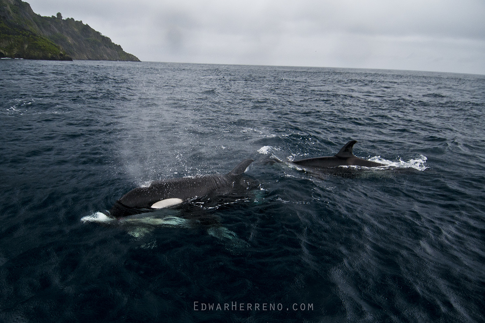 Killer Whales killing and Feeding on a Tiger Shark - Cocos Island