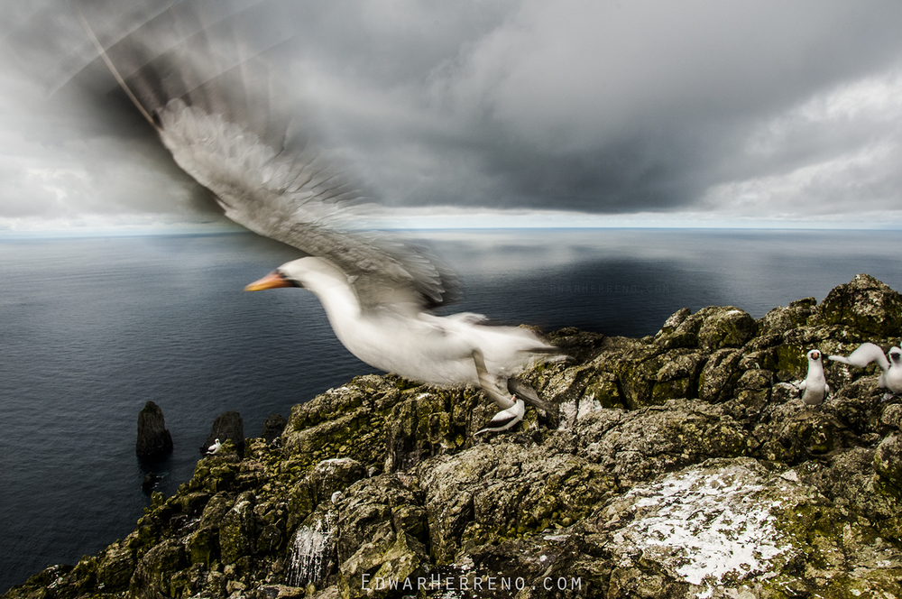 Masked Booby - Malpelo