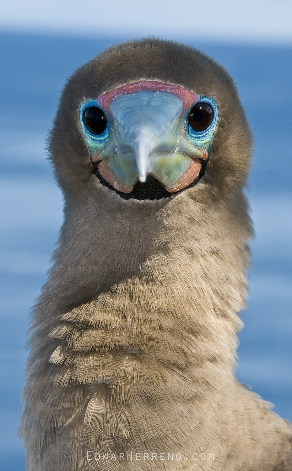 Redfooted Booby - Cocos Island