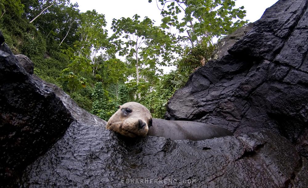 Galapagos Sea Lion - Cocos Island
